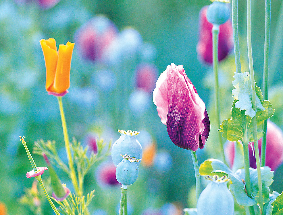 Wild poppy design
