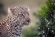 A leopard in the Masai Mara National Reserve, Kenya, Africa
