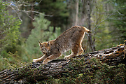 A lynx (Felis lynx) sharpens its claws on downed timber. Montana.