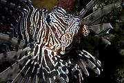 Red Lionfish, Pterois volitans.