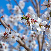 Bloomfield Almond Tree Blooms