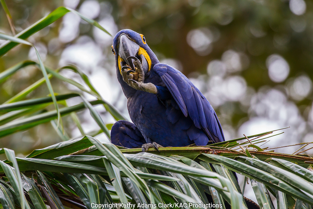Anodorhynchus hyacinthinus; Brazil; Hyacinth Macaw; Mato Grosso; Pantanal