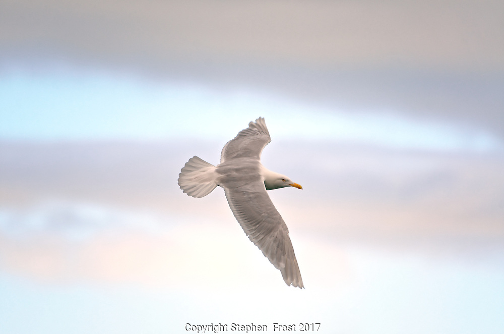 Glaucous gull in flight and in summer plumage, under an arctic sky.