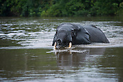 African forest elephant<br /> Lekoli River<br /> Republic of Congo (Congo - Brazzaville)<br /> AFRICA<br /> Range: Central West Africa<br /> ENDANGERED SPECIES