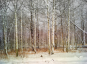 Aspens with early winter snow. Boulder Mountains, near Sun Valley Idaho.<br />