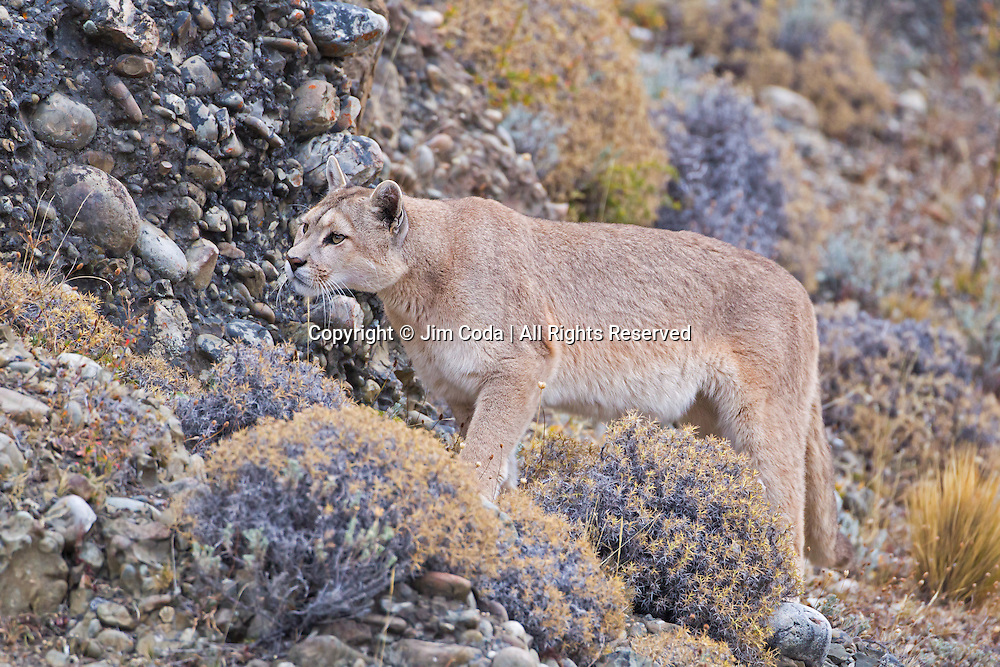 A puma walks along a slope in Torres del Paine National Park.