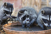 Raccoon <br /> Procyon lotor<br /> Eight-week-old orphaned babies fishing for clams in backyard of foster home <br /> WildCare, San Rafael, CA