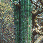 This photo clearly illustrates the contrasting morphology of different plants that are adapted to surviving in a harsh of arid environment like the Baja Peninsula; the thick, waxy, prickly epidermis of the cactus contrasting with the amber peeling bark of the torote Colorado tree ( F.Burseracea – Bursera microphylla ).