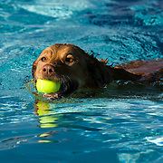 Maximus, a golden retriever owned by Elise and John Dinsenbacher of Draper goes for a swim with a ball in his mouth as dogs swim and play in the Draper pool as part of the fifth annual Salt Lake County Parks and Recreation Walk, Wag and Swim event. The pool is closed for the season, but not yet winterized allowing for the dogs to frolic and have fun in Draper, Utah Saturday, Sept. 12, 2009. August Miller, Deseret News .