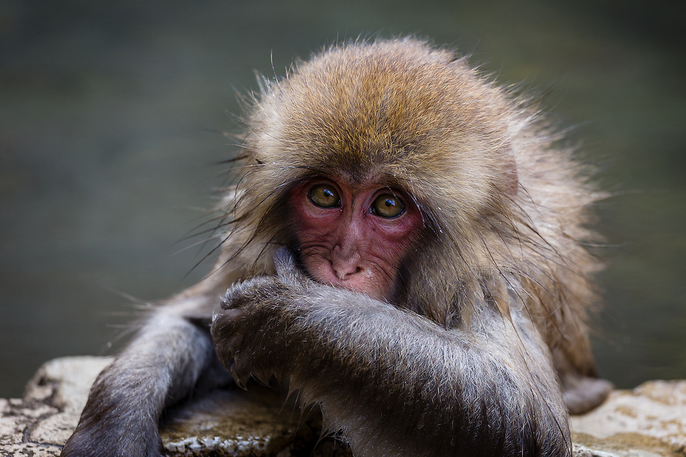 The snow monkeys (macaca fuscata) are accustomed to the hot water of the thermal springs since they are very young, so even the little ones feel quite at ease in the water.