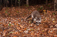 Raccoon, common raccoon, North American raccoon, northern raccoon (Procyon lotor)<br /> United States: Alabama: Tuscaloosa Co.<br /> Tulip Tree Springs off Echola Rd.; Elrod<br /> 21-Oct-2016<br /> J.C. Abbott &amp; K.K. Abbott<br /> captured with trap camera