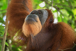 A male orangutans shows off his beautiful beard, an attribute of the critically endangered Sumatran orangutan (Pongo abelii), while safely sitting in the shade of a tree, Bukit Lawang, Sumatra, Indonesia