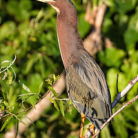 Green heron keeps a sharp lookout for other birds near his nest. Shark Valley Area, Everglades National Park, Florida