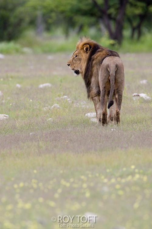 African Lion (Panthera leo) walking through the grass, Etosha Park, Namibia.