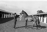 20/091967<br /> 09/20/1967<br /> 20 September 1967<br /> Goffs September Sales at Ballsbridge, Dublin. Picture shows a yearling bay colt, the property of Mr Richard S. McC
