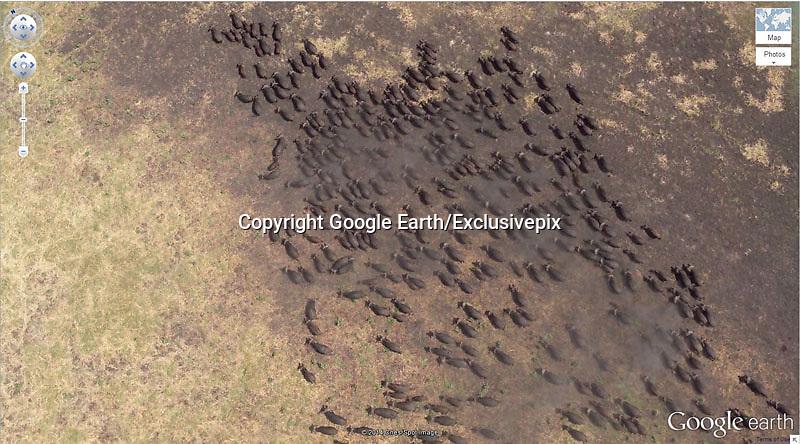 Amazing captures from Google earth<br /> Photo Shows: . Buffalo Herd 4&deg;17&rsquo;21.49&Prime; S 31&deg;23&rsquo;46.46&Prime; E<br /> Kigosi Game Reserve, Tanzania<br /> &copy;Google Earth/Exclusivepix