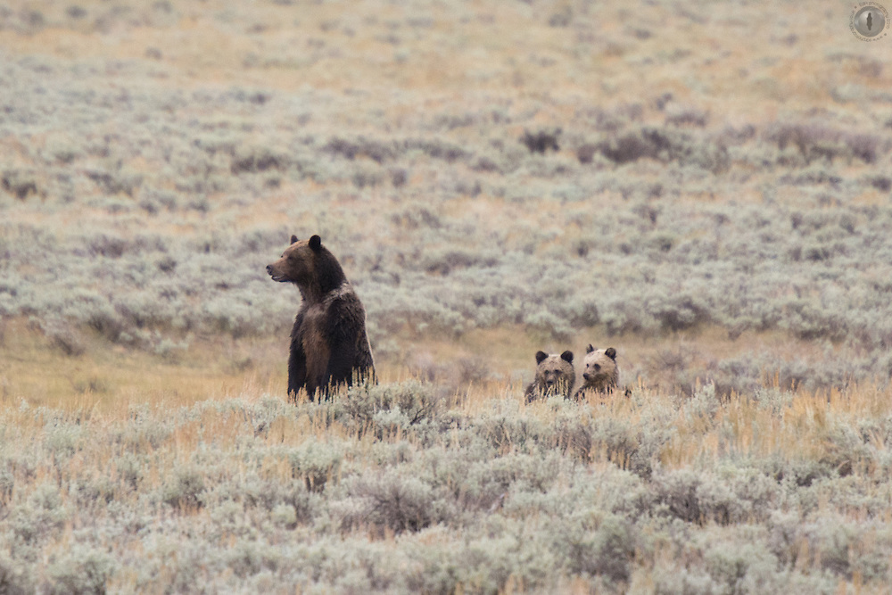 Mother grizzly bear with two mischievous cubs, peeping their heads out over the sage brush. Taken in the Lamar valley, Yellowstone National Park.