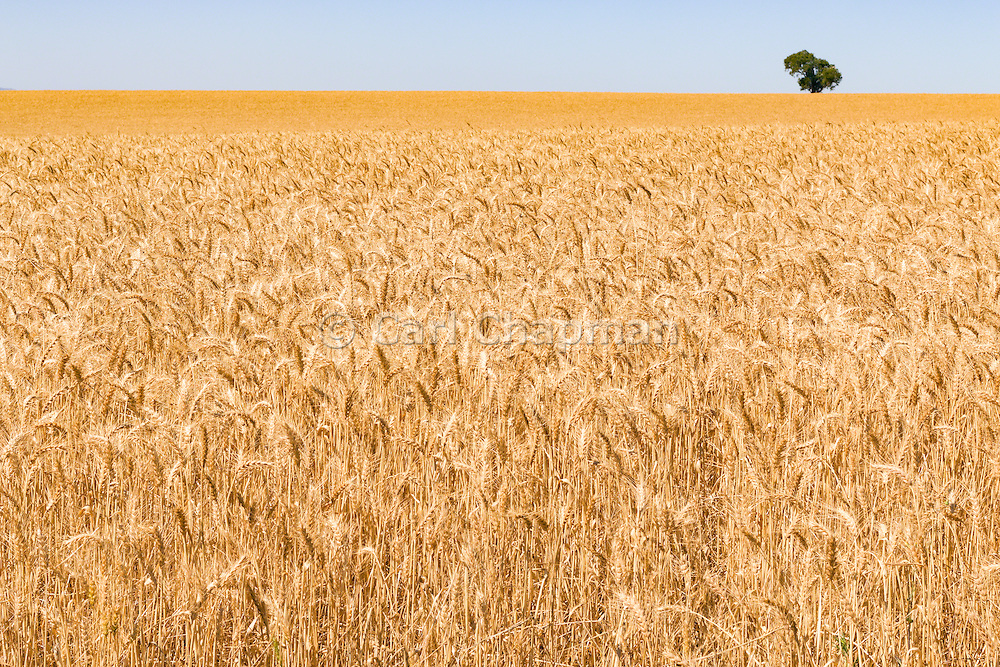 Heads of golden barley in a field before harvesting in rural Brucedale, New South Wales, Australia. <br />