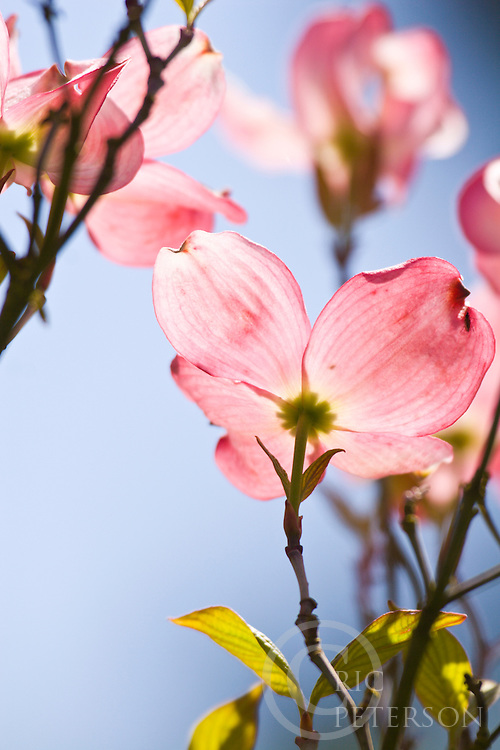 Dogwood blossoms in spring