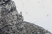 Kittiwakes and common guillemots during a light snow-shower at the bird cliff on Hornøya, Finnmark, Norway.