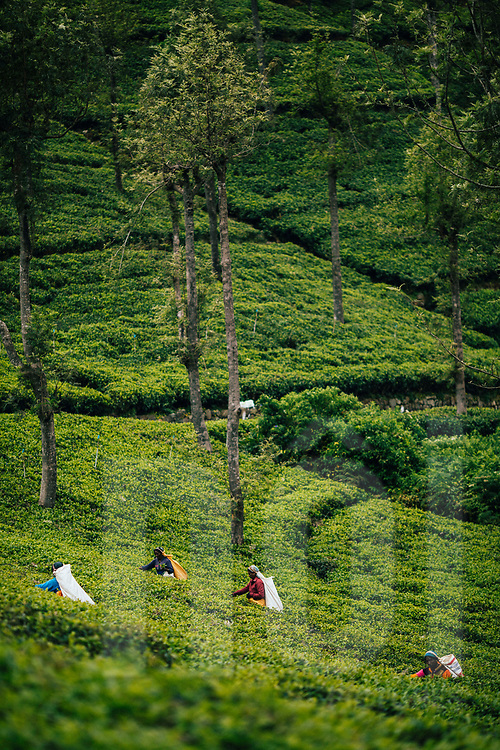 Women harvest leaves at a tea plantation in the hills of Ella, Sri Lanka, Asia
