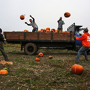 Workers toss harvested pumpkins from a truck at Bob's Corn Farm in Snohomish County. The popular destination farm, known for its corn maze, and pumpkin patches, also has a small country store.  (Joshua Trujillo, seattlepi.com)