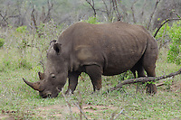 Rhinoceros grazes in African plains