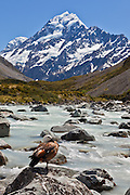 Paradise Shelduck at Hooker Valley, Mount Cook