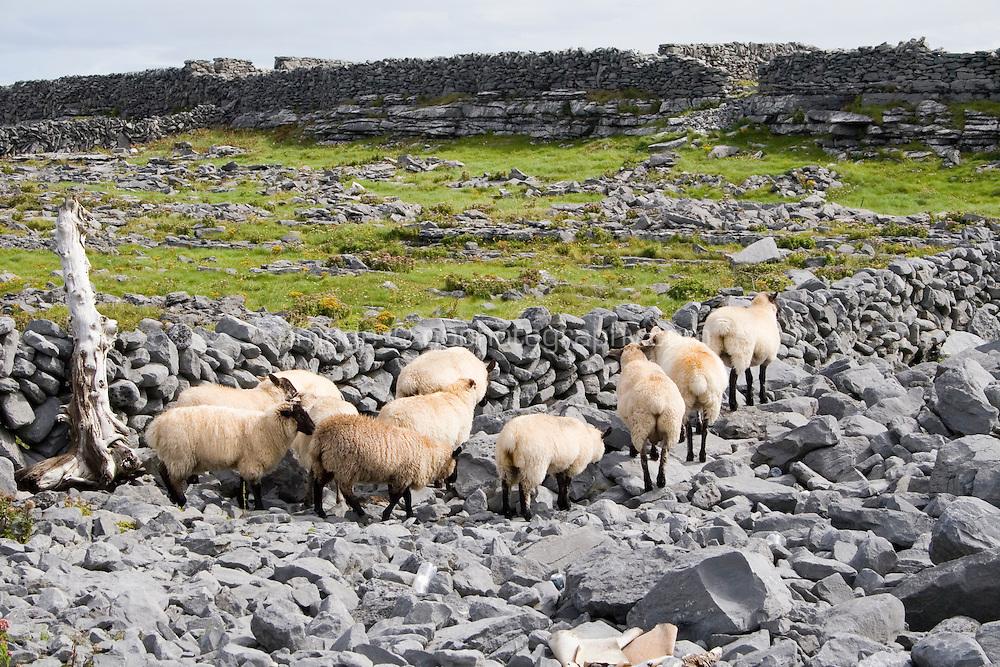 Sheep walking along rocks on Inis Oirr Island the Aran Islands County Galway Ireland