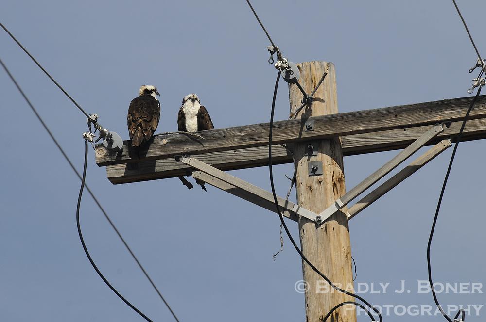 Osprey on power line near Jackson, Wyo.