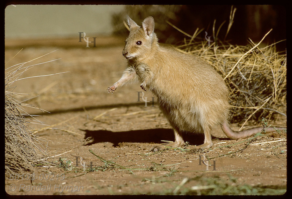 Endangered mala, or rufous hare-wallaby, stands in sun in pen at Conservation Commssn of NT;Alice Australia
