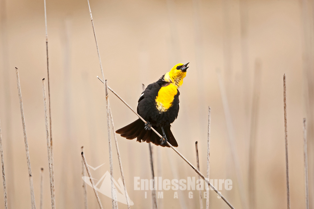 A Yellow Headed Blackbird sings from the top of cattails its April and mating season is in full swing.