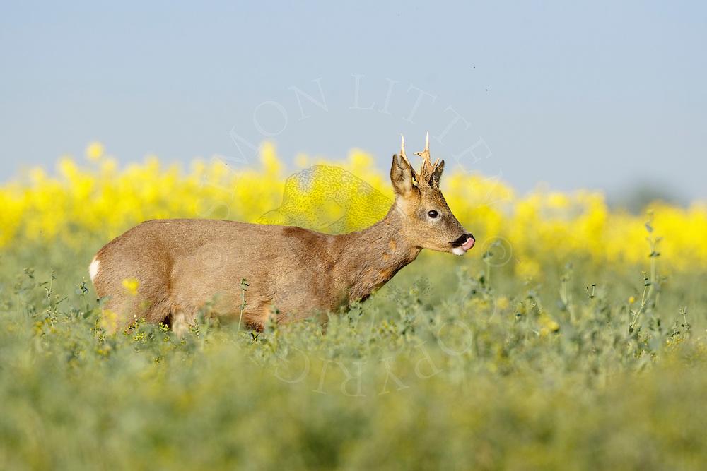 Western Roe Deer (Capreolus capreolus) male licking nose in oilseed rape crop, South Norfolk, UK. May.