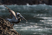 A brown pelican takes flight along the coast of Bona Island in Panama Bay.
