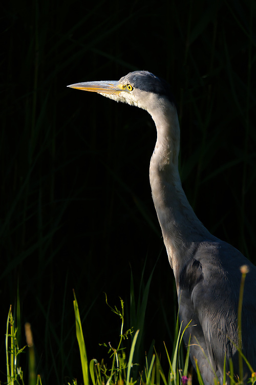 Heron in shaft of sunlight