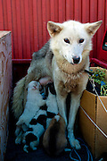 Husky mother and pups in Sisimiut, the second largest town in Greenland