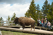 A Bison, or American Buffalo, walks near tourists in Yellowstone National Park.  Wyoming, USA