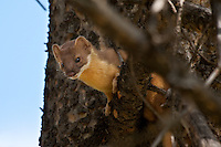 We went for a hike along the Clear Lake Trail in the Canyon area of Yellowstone.  Louise spotted this curious little critter in the woods and so I stopped to watch it for awhile.  It was easy to see while it was interested in watching me, but eventually it decided to leave and it easily disappeared into the woods...©2009, Sean Phillips.http://www.Sean-Phillips.com