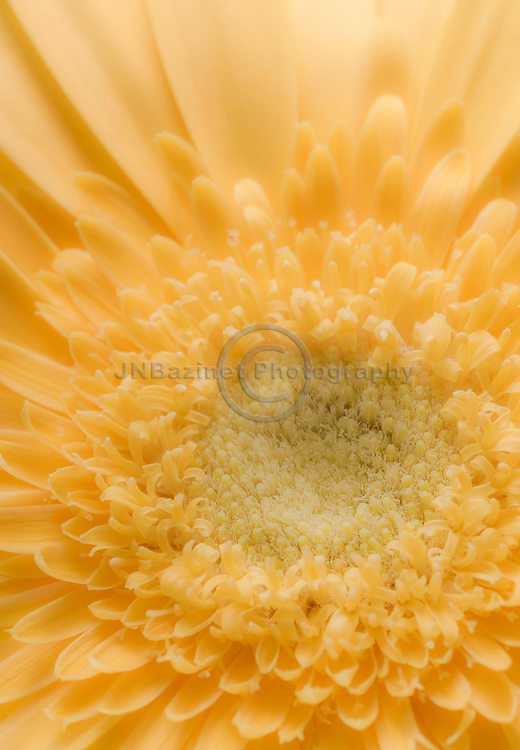 Soft lighting illuminates extreme close-up of yellow gerbera daisy
