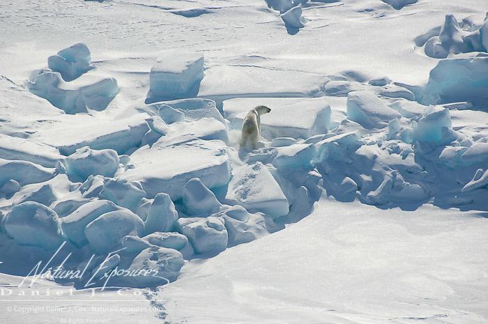 A polar bear (Ursus maritimus) makes it's way across the Beaufort Sea Ice pack. Kaktovik, Alaska.