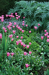Tulipa 'China Pink' interplanted amongst herbaceous plants and forget-me-nots at the end of the long border at Great Dixter