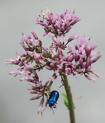 A metallic blue-green Mint Beetle (Chrysolina coerulans, in the Chrysomelidae family) crawls on a pink flower. Chrysolina is a large genus of leaf beetles in the subfamily Chrysomelinae. The Chrysolina species are phytophagous, feeding on specific food plants. August is a good month to see many attractive alpine wildflowers blooming in the Alpstein limestone range, Appenzell Alps, Switzerland, Europe.