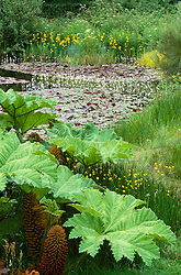 The Horse Pond at Great Dxiter with Gunnera manicata and Hottonia palustris (Water violets)