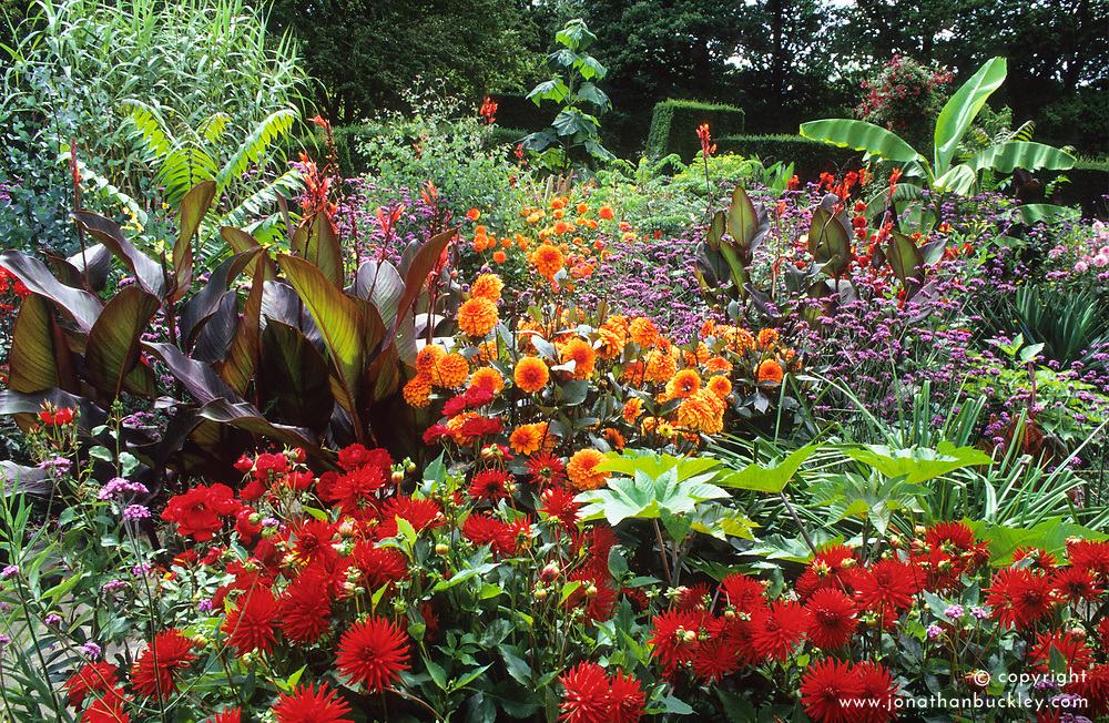The exotic garden at Great Dixter with Dahlia 'Alva's Doris '  (red) in foreground, Dahlia 'David Howard ' (Orange), Musa basjoo, and Canna indica purpurea.