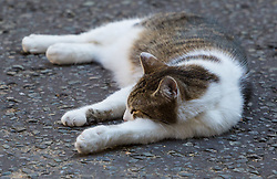 London, July 5th 2017. Larry the Downing Street cat relaxes in the shade on Downing Street as temperatures are forecast to reach 26º in London.