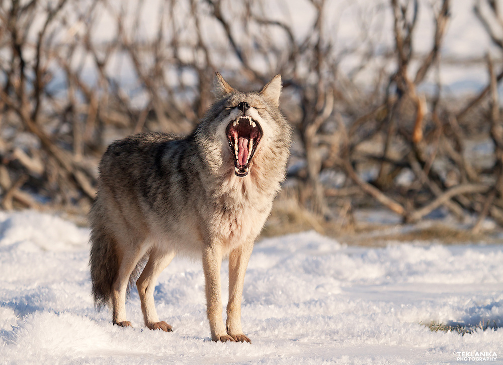 An Alaska coyote stands in the snow and yawns.
