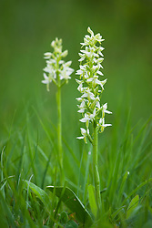 Lesser Butterfly Orchid. Platanthera bifolia