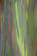 Painted bark of Rainbow Eucalyptus tree on Oahu, Hawaii