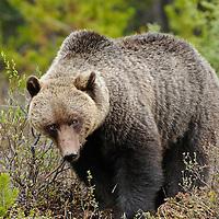 grizzly bear boar fir forest brush