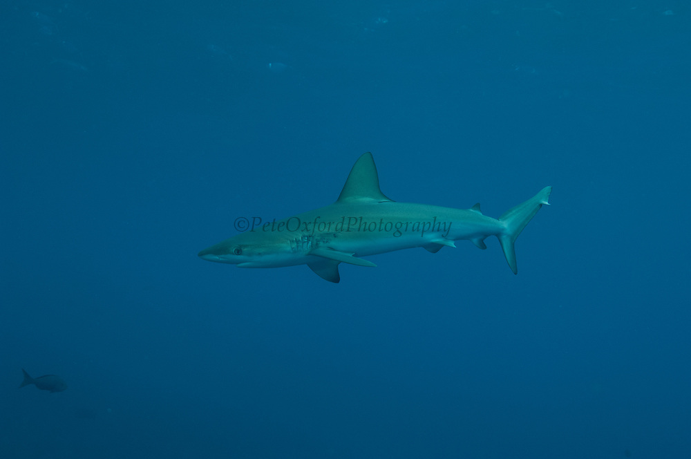 Galapagos Shark (Carcharhinus galapagensis)<br /> Off of Wolf Island<br /> GALAPAGOS ISLANDS<br /> ECUADOR.  South America<br /> May be dangerous.<br /> RANGE: Entire archipelago north to Baja including offshore islands.